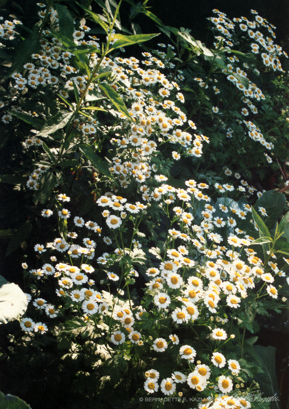 Feverfew in the Garden