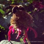 Sluggish Bumblebee
