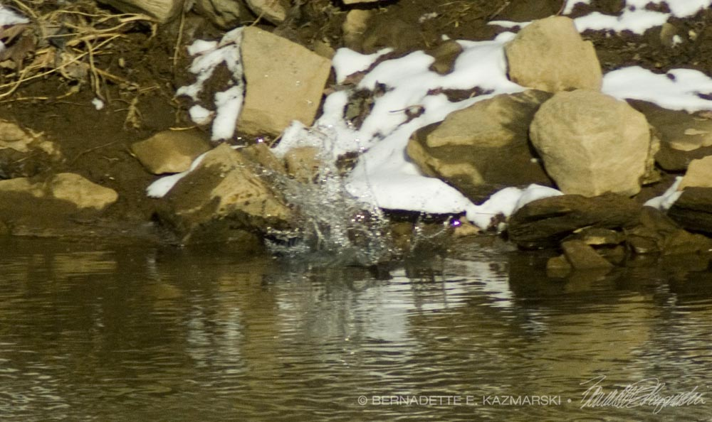 The kingfisher splashes into the creek.