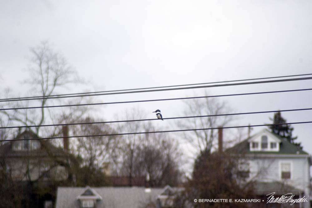 Kingfisher on the power lines.