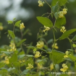 Tips of jewelweed