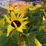 Aldi-Sunflowers