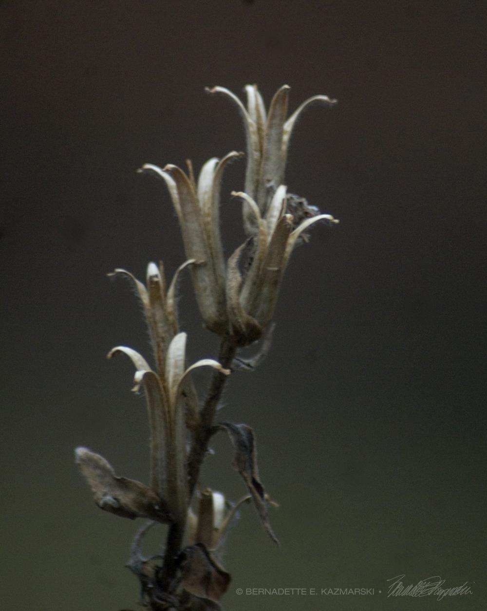 dry evening primrose pods
