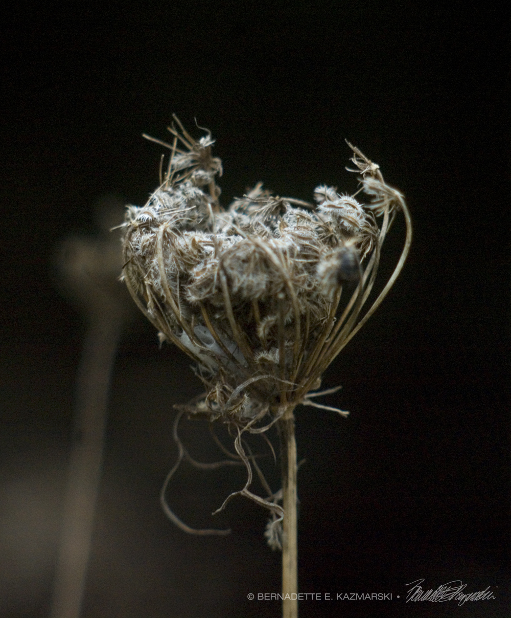 queen anne's lace flower dried